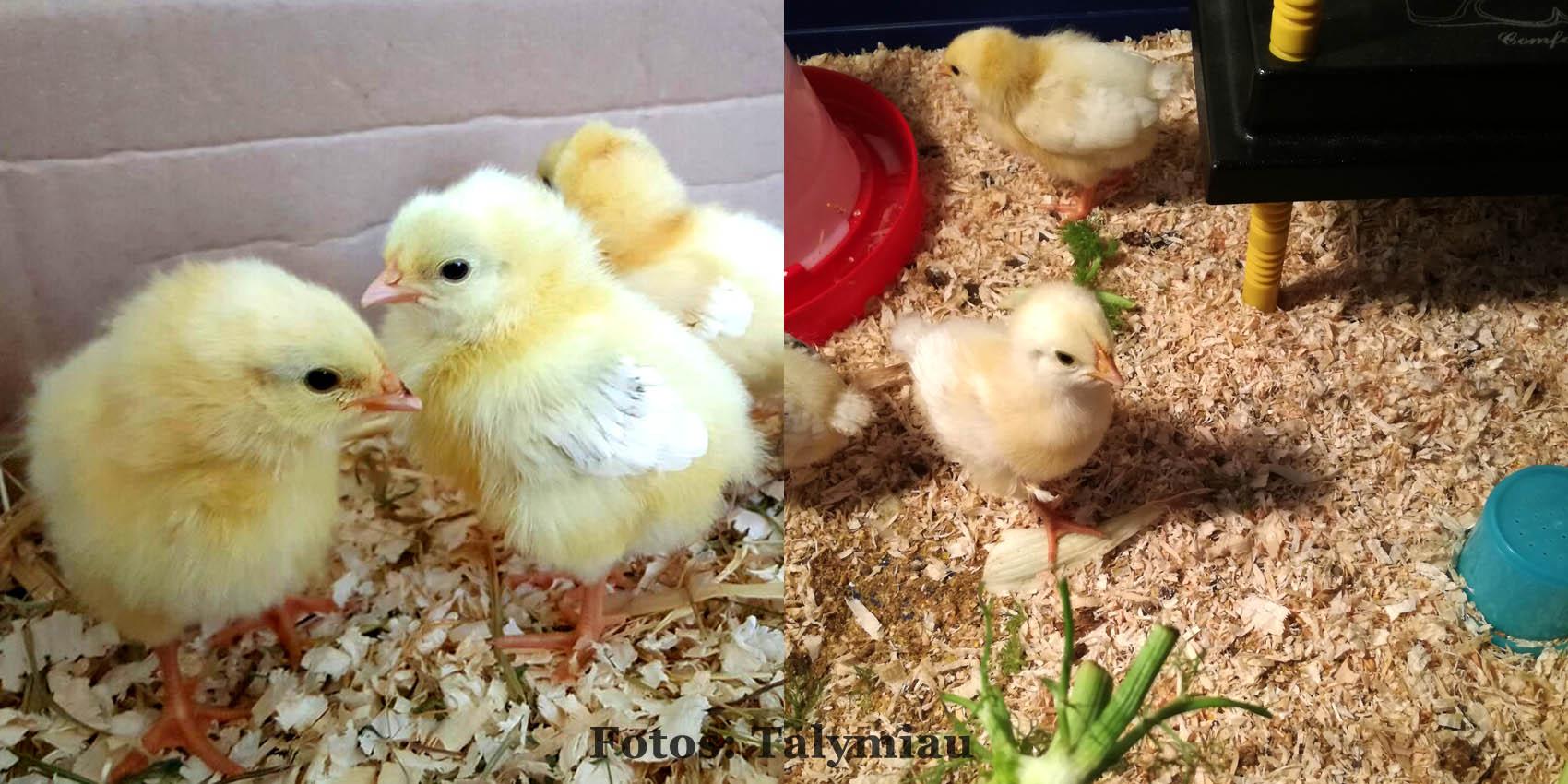 Hühnerküken flauschig & weich