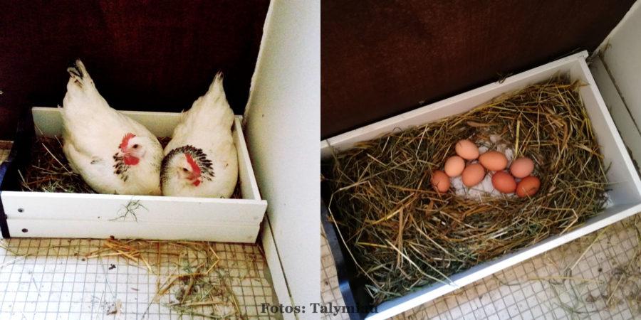 Hühner legen Eier - bei guten Futter auch sehr viele!