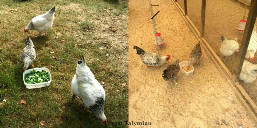 Bielefelder Kennhühner und Sussex- Hühner