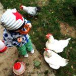 Gartengeschichten: Die Sache mit den Hühnern – Hühnerhaltung als Privatperson {Gastbeitrag}