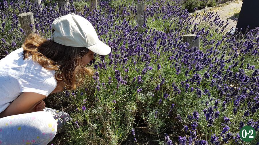 Duftender Lavendel am Strassenrand in De Cocksdorp